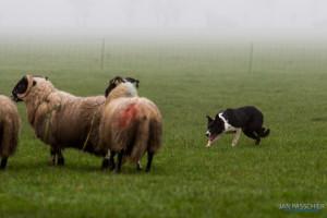 schapen drijven farmsurvival
